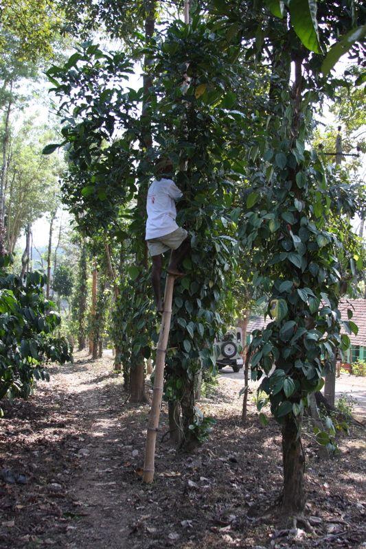Дерево сорта кофе либерика
