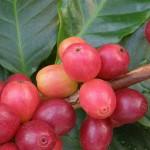 Как вырастить кофе дома