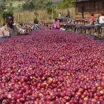 Сбор кофе – где и как собирают кофе
